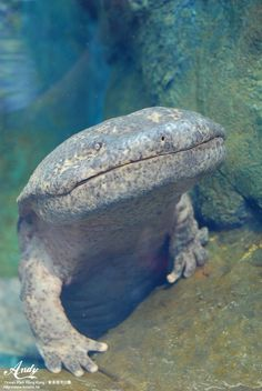 This is a Chinese giant salamander, the world's largest salamander. It can grow up to six feet long. It is highly endangered due to water pollution and harvest for the Chinese traditional medicine market. (by Andy Loves Hong Kong):