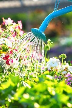Hydrogen peroxide in the garden is a great idea with many incredible benefits! Use hydrogen peroxide in your garden for these great things! Water Flowers, Plants, Garden Care, Watering, Flowers, Flower Garden, Container Gardening, Garden Design, Gardening Tips