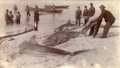 beached sharks off old Key West