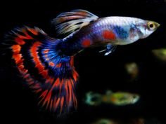 The guppy (Poecilia reticulata), also known as millionfish and rainbow fish, is one of the world's most widely distributed tropical fish, and one of the most popular freshwater aquarium fish species.