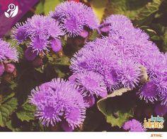 Que tal uma flor que foge do tradicional? O Agerato, conhecido também como Celestina, não tem pétalas aparentes e as cores vêm do próprio miolo em tons de violeta e azul. ❤