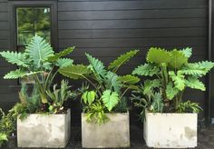 How to use Summer Bulbs in Containers. Combo includes 'Portodora' elephant's ear Alocasia 'Portodora' against a black house. more details at Thinkingoutsidetheboxwood.com
