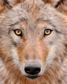 Mongolian Wolf #mongolian