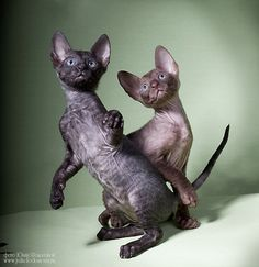 (via koto-pro-photo) Devon Rex Devon Rex, Raining Cats And Dogs, Dog Cat, Cute Animals, Internet, Pretty Animals, Cutest Animals, Cute Funny Animals, Adorable Animals