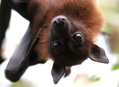8 Fuzzy Bats ideas | fruit bat, bat, fox bat