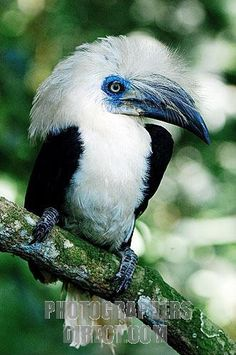 Endemic to Sumatra & Borneo, the White-Crowned Hornbill lives in rainforests & on fruit & rubber plantations. They are large hornbills long; 3 pounds) that feed on fruit, lizards, arthropods & larvae. They are threatened by habitat destruction. Kinds Of Birds, All Birds, Birds Of Prey, Love Birds, Pretty Birds, Beautiful Birds, Animals Beautiful, Cute Animals, Exotic Birds