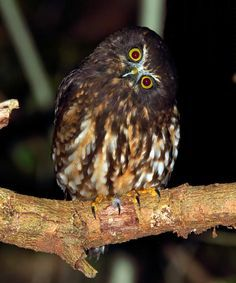 New Zealand - Images Cute Birds, Cute Owl, Beautiful Birds, Animals Beautiful, New Zealand Image, Nocturnal Animals, Wild Birds, Bird Prints, Animal Drawings