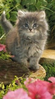 Grey Persian Kitten