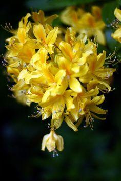 Honeysuckle is the flower to express devotion #CarolynPollack #LanguageofFlowers