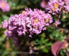 'Chickasaw' compact crapemyrtle with honeybee. Can you see how full her pollen sacks are? | Red Dirt Ramblings | Plant for Pollinators.