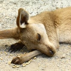 """Discovered by Laura Costelloe: """"The wallabies are so relaxed you just walk alongside them!"""" Kuranda, Australia"""