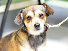 TO BE DESTROYED 07/17/17** *RESCUE ONLY* CHARO. A1118189.  I am a neutered male brown and black chihuahua sh mix. I am about 2 YEARS- OWNER SUR on 07/11/2017-- CHILDCONFL.