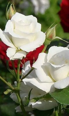 White roses for a loved one gone...among the stars...always in my heart.