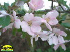 Malus 'Kadetti', prydnadsäppel. Rikligt med svagt rosa blommor. Grönt bladverk. Höjd: 2- m.