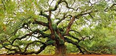 Angel Oak: Johns Isl
