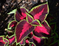 Coleus is a beautiful plant and makes a lovely addition any garden. Learn how to start growing Coleus indoors today for a beautiful home. Water Plants Indoor, Plants Grown In Water, Plant Bugs, Garden Planner, Flower Names, Hydroponics System, Foliage Plants, Flowers Perennials, Types Of Flowers