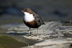 Spotted a dipper, or gabha dubh (Irish for blacksmith), in the Eglinton canal, Galway in January 2015. Photo from Birdwatch Ireland.