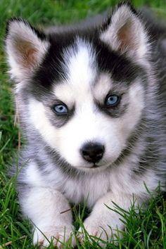 It's a baby husky!!!!! So cute!!!!