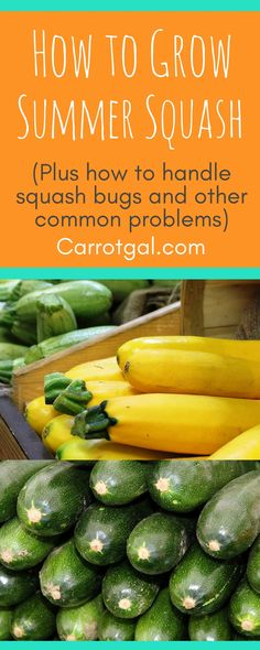 Zucchini (and other summer squash) How to grow Summer Squash, Zucchini, Yellow crookneck squash, pat Yellow Crookneck Squash, Pattypan Squash, Squash Plant, Squash Bugs, Zucchini Squash, Growing Herbs, Growing Vegetables, Clematis Trellis, Growing Zucchini
