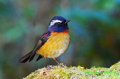 The Collared Bush-robin (Tarsiger johnstoniae) is a species of bird in the Muscicapidae family. It is found in China and Taiwan, Photo by AHow Pretty Birds, Beautiful Birds, Stonechat, Robin Bird, Bird Wings, Bird Species, Wild Birds, Zoo Animals, Bird Feathers