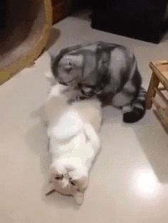 Cat giving another cat a belly rub gif!