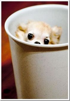 """Pup-in-a cup. Think it looks like some type of long haired Chihuahua. Cute, but stange, how animals are being """"shrink-ee-dinked."""""""
