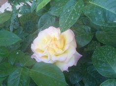 This one is a little shy. Garden Roses, Beautiful Roses, Bloom, Flowers, Plants, Plant, Royal Icing Flowers, Flower, Florals