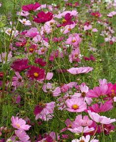 One of my other favorites.  These are EASY to grow and a couple of packs of seeds will give you 100's of flowers.  Sow in full sun.  They get rather tall so put them in a spot where you won't mind if they get 3 or 4 ft high.  They also need a little support for protection from rain and wind.  I use plant supports from Lowes.  They are $3.88.  They grow and grow and grow.  They love heat...so plant them in full sun.