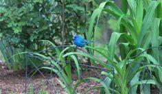 One of my favorites! The indigo bunting.