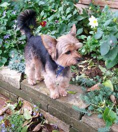 Checkin out the garden Cutest Animals, Yorkies, Yorkshire Terrier, Corgi, Pets, Garden, Yorkshire Terriers, Garten, Cutest Pets