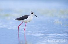 One of the Black Winged Stilts Found At the Lake Hide | NaturesLens