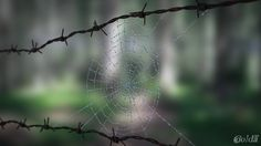 Spider web with drops of dew.