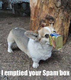 Corgi Funny Z. I love a shaved corgi. Corgi Funny, Corgi Dog, Funny Dogs, Dog Cat, Corgi Meme, Funny Animal Videos, Funny Animal Pictures, Funny Animals, Cute Animals