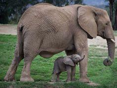 4 day old baby elephant i love elephants слонята, животные, Cute Creatures, Beautiful Creatures, Animals Beautiful, Elephants Never Forget, Save The Elephants, Baby Elephants, Asian Elephant, Elephant Love, Mama Elephant
