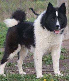 The East Siberian Laika is a Russian breed of dog of spitz type, a hunting dog originating in parts of Siberia east of the Yenisei River. Animals And Pets, Funny Animals, Cute Animals, Laika Dog, Black Dogs Breeds, Unusual Dog Breeds, Greenland Dog, Every Dog Breed, Wolf