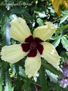 Flor de la planta Hibiscus diversifolius