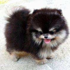 How long do Pomeranians Live Teacup pomeranian, Pies and