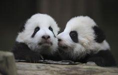 Забавные фотографии панд