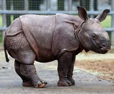 Baby Asian Rhino...supposedly