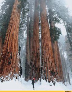 фото,лес,Природа,красивые фото природы: моря, озера, леса,секвойя,ебать ты высокий