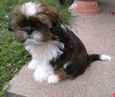 Shih Tzu pups are the best... This one is no exception.