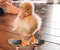 Pet Ducks, Baby Ducks, Duck Wallpaper, Animal Wallpaper, Pastel Wallpaper, Cute Little Animals, Cute Funny Animals, Cute Ducklings, Little Duck