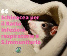Echinacea per il Ratto: l'echinacea contiene acidi grassi a catena lunga, alcalodi, e flavonoidi, ha azione immunostimolante in particolare le cellule NK (natural killer) diventano più numerose, anche per i ratti è utile in caso di infezioni respiratorie, per aumentare le difese immunitarie.