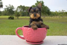 Yorkie Teacup Puppies!!! AKC Cute & Tiny - Classified Ad