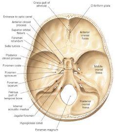Superior View Of Skull Bones Anatomy Skeletal System Anatomy