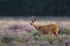 Roe deer | by Pim leijen