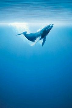 Humpback Whale in the deep blue sea Beautiful Creatures, Animals Beautiful, Photo Animaliere, Deep Blue Sea, Ocean Creatures, Blue Whale, Humpback Whale, Sea World, Ocean Life