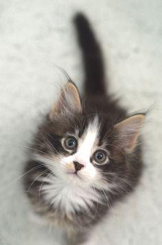 Maine Coon #kitten.