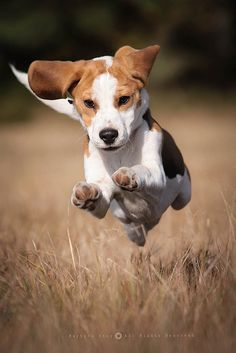Superdog flying to the rescue! Cute Beagles, Cute Puppies, Cute Dogs, Dogs And Puppies, Doggies, Bull Terrier Dog, Hound Dog, Happy Animals, Cute Animals