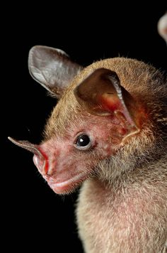 pale spear-nosed bat